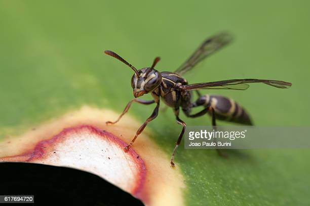 brazilian polybia wasp sitting over a leaf - paper wasp stock pictures, royalty-free photos & images