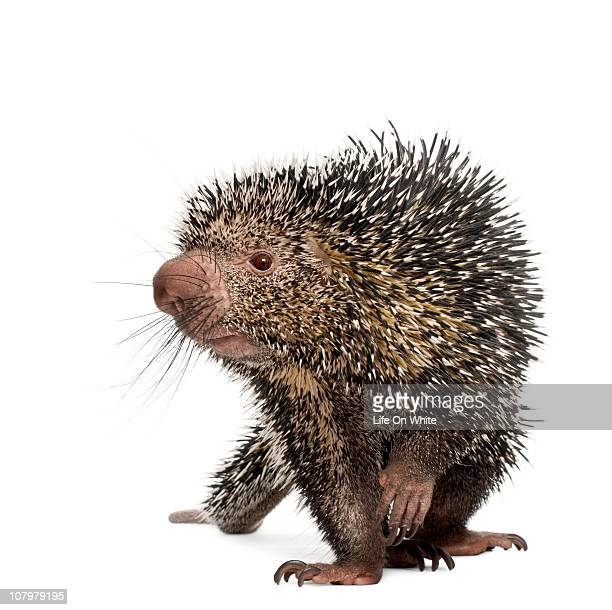 brazilian porcupine - coendou prehensilis - porcupine stock photos and pictures