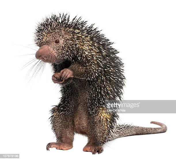brazilian porcupine - coendou prehensilis - istrice foto e immagini stock