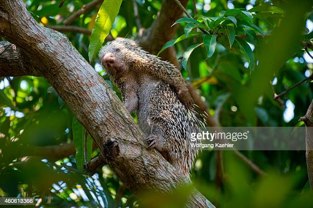Brazilian porcupine in a tree is scratching the back at Porto Jofre in the northern Pantanal Mato Grosso province in Brazil