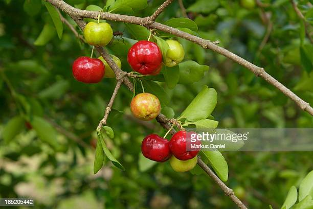 "brazilian red acerola fruit - ""markus daniel"" stock pictures, royalty-free photos & images"