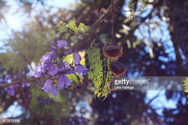 brazilian rosewood - beauty - jacaranda tree stock pictures, royalty-free photos & images