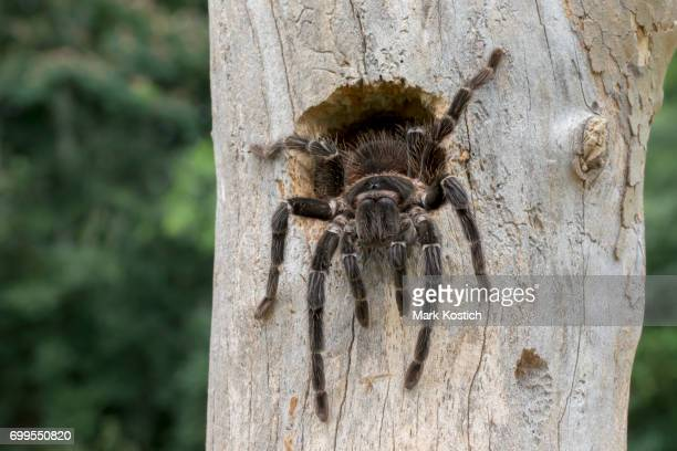 brazilian salmon pink bird eating tarantula spider (lasiodora parahybana) coming out of bird nest - spider stock pictures, royalty-free photos & images