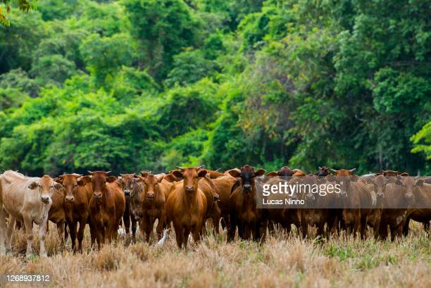 brazilian sindhi (sindi) cattle with amazon rainforest in the background - brazil stock pictures, royalty-free photos & images