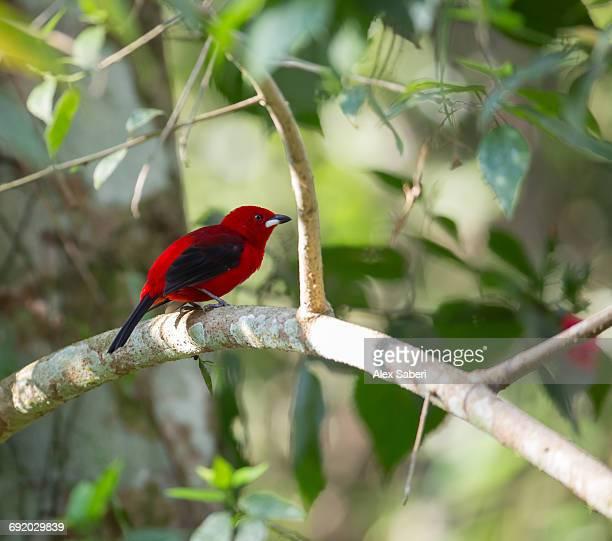 a brazilian tanager, ramphocelus bresilius, perches on a tree branch in the atlantic rainforest. - alex saberi photos et images de collection