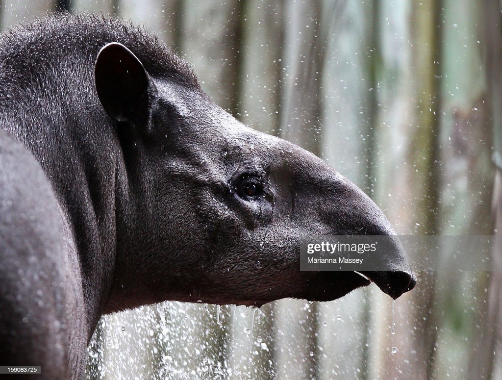 Brazilian Tapir Tique is treated to a nice cold shower by the zoo keeper at Taronga Zoo on January 8, 2013 in Sydney, Australia. Temperatures are expected to reach as high as 43 degrees around Sydney today.
