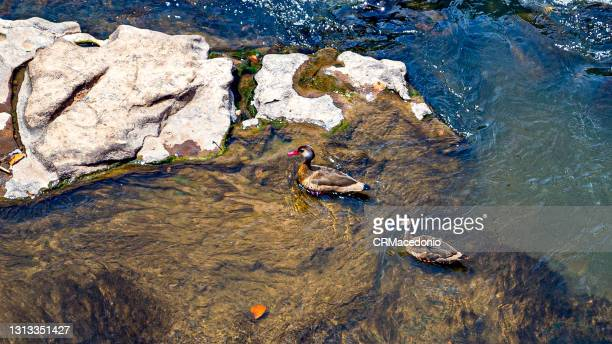 brazilian teal on the piracicaba river. - crmacedonio photos et images de collection