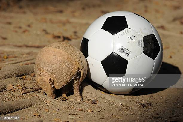 A Brazilian Three banded armadillo aka TatuBola in Portuguese curls into a ball next to a football on September 18 in Rio de Janeiro The TatuBola was...