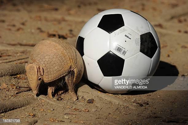 A Brazilian Three banded armadillo aka TatuBola in Portuguese stands next to a football on September 18 in Rio de Janeiro The TatuBola was chosen as...