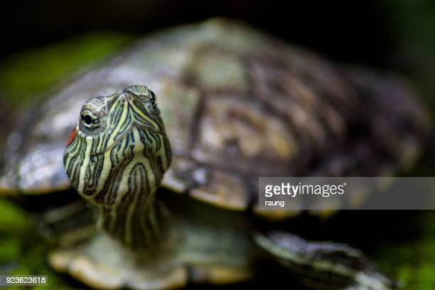 tartaruga brasileiro - réptil - fotografias e filmes do acervo