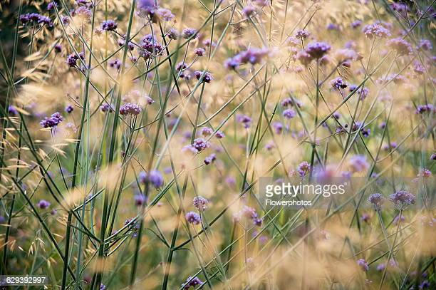 Brazilian verbena Verbena bonariensis a mass of transparent stalks interspersed with Golden oats Stipa gigantea