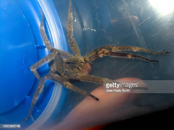 brazilian wandering spider (phoneutria) captured in a container - braziliaanse zwerfspin stockfoto's en -beelden