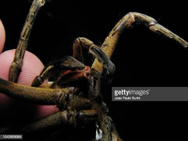 brazilian wandering spider (armadeira) close-up - braziliaanse zwerfspin stockfoto's en -beelden