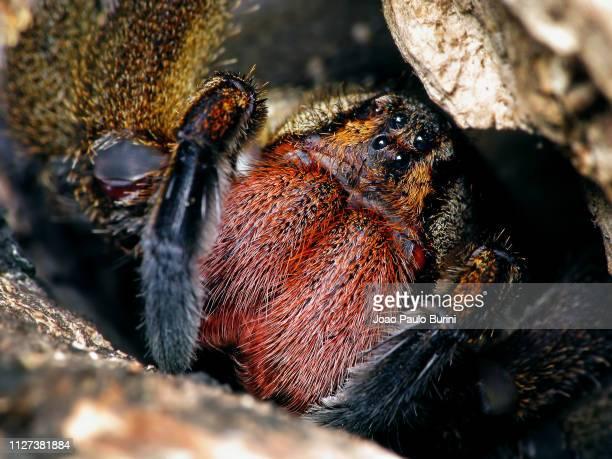brazilian wandering spider face - braziliaanse zwerfspin stockfoto's en -beelden