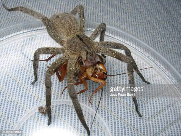 brazilian wandering spider feeding on a cockroach - braziliaanse zwerfspin stockfoto's en -beelden
