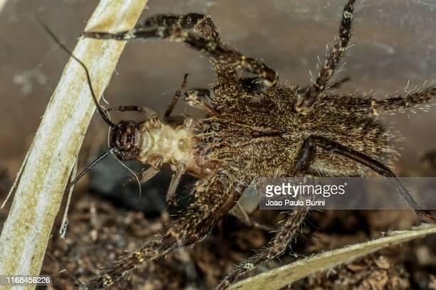 brazilian wandering spider feeding on a cricket - braziliaanse zwerfspin stockfoto's en -beelden
