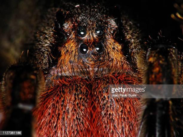 brazilian wandering spider frontal macro - braziliaanse zwerfspin stockfoto's en -beelden