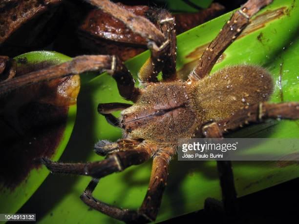 brazilian wandering spider (phoneutria) grooming on a bromeliad - braziliaanse zwerfspin stockfoto's en -beelden
