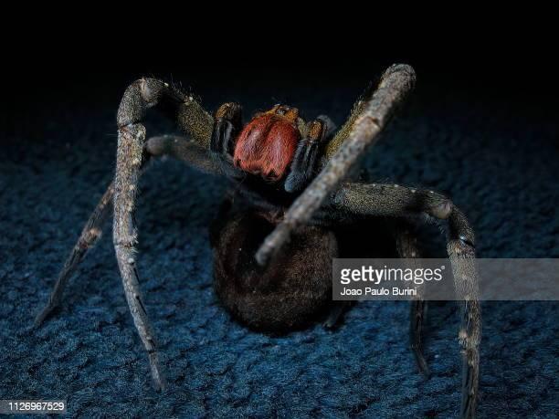 brazilian wandering spider (phoneutria nigriventer) inside home - braziliaanse zwerfspin stockfoto's en -beelden
