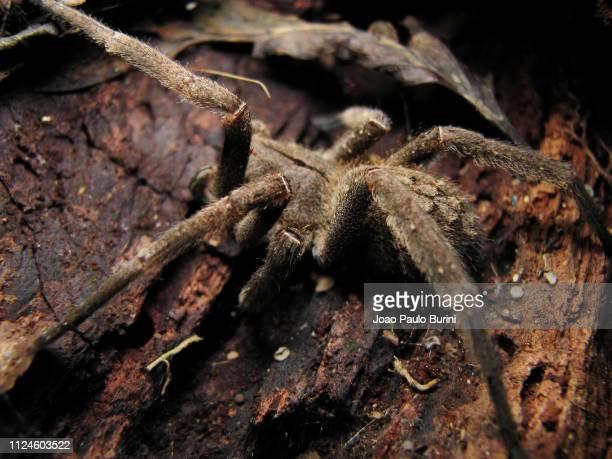 brazilian wandering spider on a tree trunk - braziliaanse zwerfspin stockfoto's en -beelden