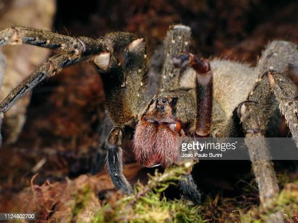 brazilian wandering spider threat display - braziliaanse zwerfspin stockfoto's en -beelden