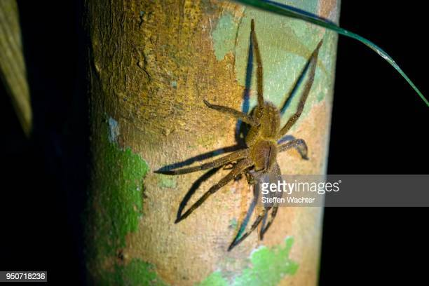 brazilian wandering spider (phoneutria spp.), with prey on a tree trunk, banana spider, armadeira, national park cuyabeno, amazonia, sucumbios province, ecuador - braziliaanse zwerfspin stockfoto's en -beelden