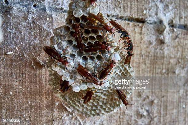 brazilian wasps building a nest. - images of brazilian wax stock pictures, royalty-free photos & images