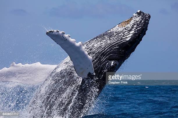 breaching behavior humpback whale - ザトウクジラ ストックフォトと画像