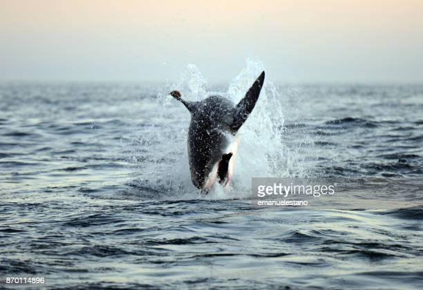 breaching great white shark - falklandinseln stock-fotos und bilder