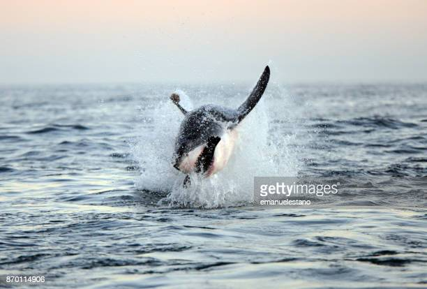 breaching great white shark - great white shark stock photos and pictures