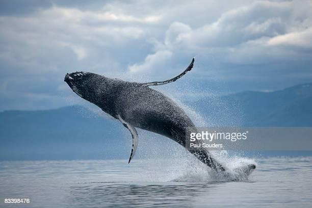 breaching humpback whale, alaska - wal stock-fotos und bilder