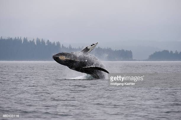 Breaching Humpback whale , an acrobatic display where the humpback uses its tail to launch itself out of the water and then lands back on the surface...