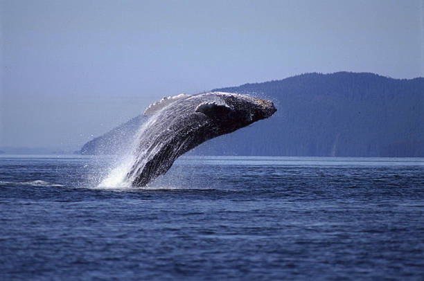 Breaching humpback whale, Frederick Sound, Alaska