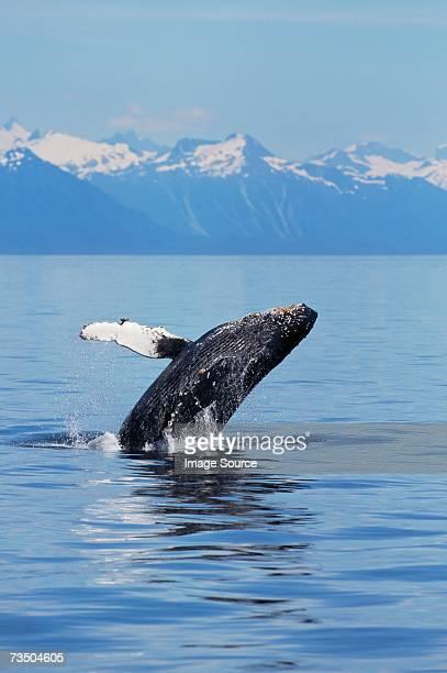 a breaching humpback whale in alaska - wal stock-fotos und bilder