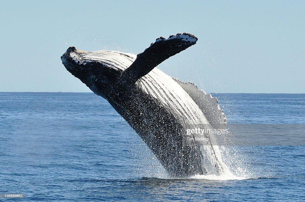 Breaching humpback whale megaptera novaeangliae : Stock Photo