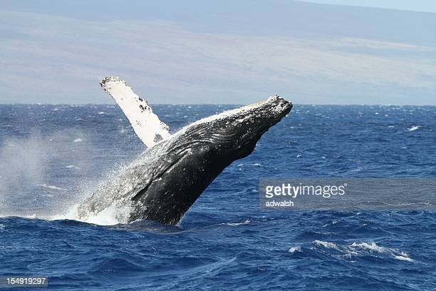 breaching humpback whale off the maui coast - lanai stock photos and pictures