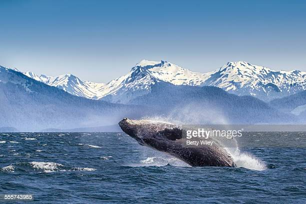 breaching humpback whale - mammal stock pictures, royalty-free photos & images