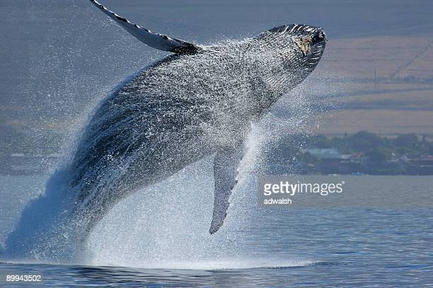 ブリーチングハンプバッククジラ - ラハイナ ストックフォトと画像