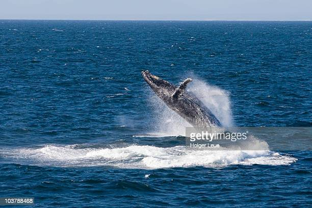 breaching humpback whale seen from cruiseship mv hanseatic. - mossel bay stock pictures, royalty-free photos & images