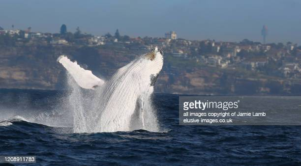breaching humpback whale with sydney skyline - sydney stock pictures, royalty-free photos & images