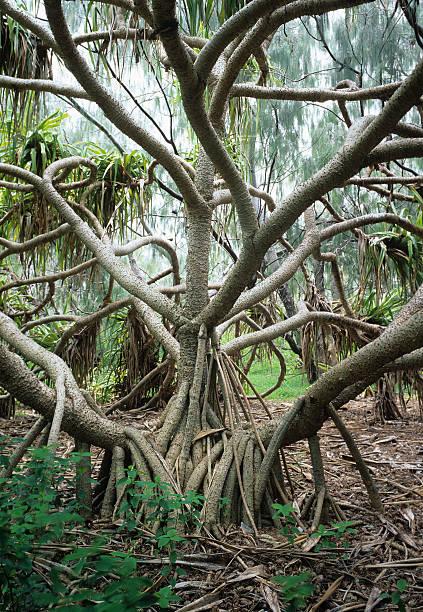 Breadfruit Tree (Pandanus pedunculatus)