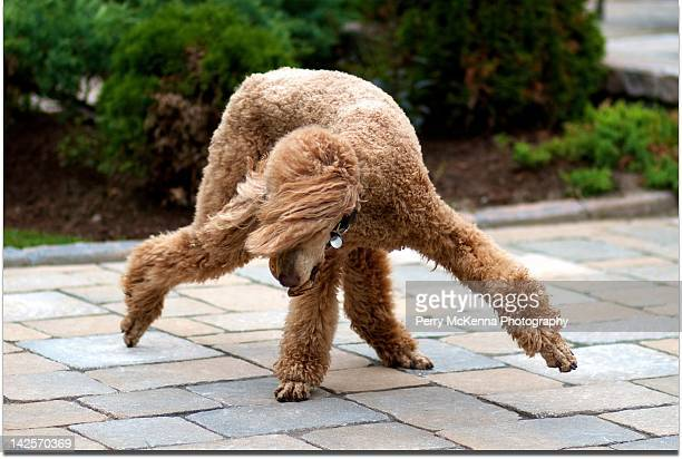 Break Dancing Poodle