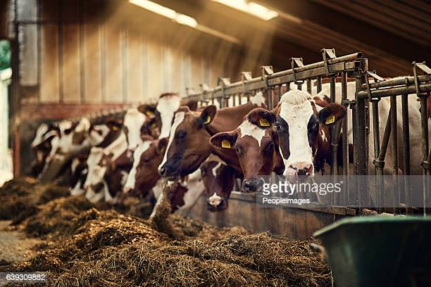 breakfast is served - livestock stock pictures, royalty-free photos & images