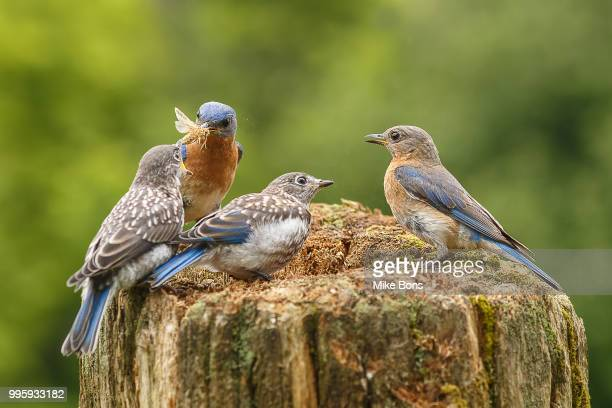 breakfast time - eastern bluebird stock pictures, royalty-free photos & images