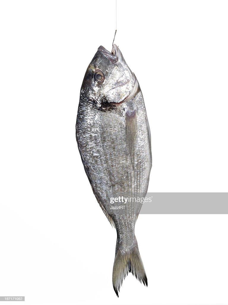 Bream fish : Stock Photo
