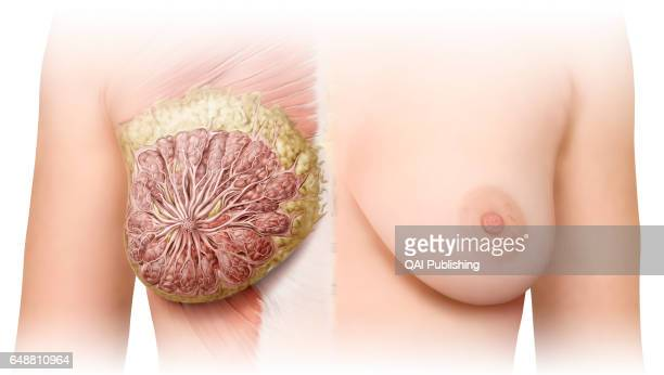Breast anterior view The breasts are two glandular organs rich in adipose tissue that cover the pectoral muscles In women each breast contains a...