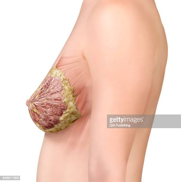 Breast lateral view The breasts are two glandular organs rich in adipose tissue that cover the pectoral muscles In women each breast contains a...
