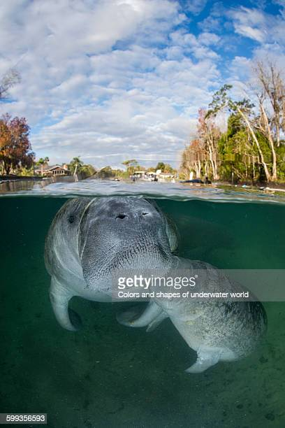 Breastfeeding American Manatee
