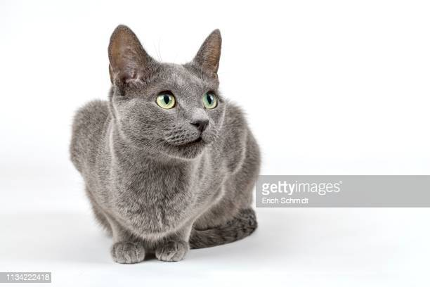 breedcat russian blue (felis silvestris catus), 6 years, dam, studio shot, germany - russian blue cat stock pictures, royalty-free photos & images