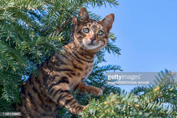 breedcat toyger (felis silvestris catus), female, 8 months, brown mackerel, sits attentively in yew, austria - purebred cat stock pictures, royalty-free photos & images